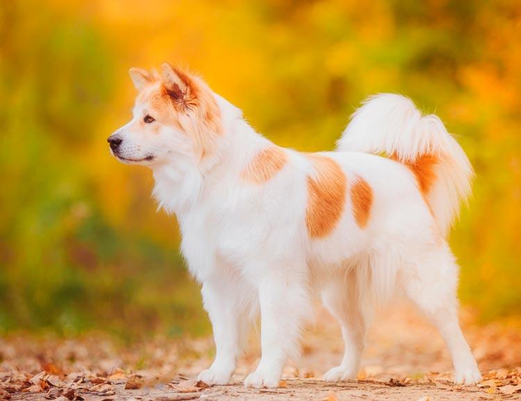 где купить собаку тайский багкев