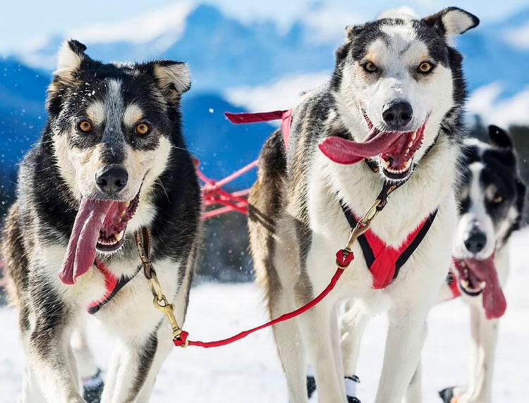 камчатская собака на Беренгии