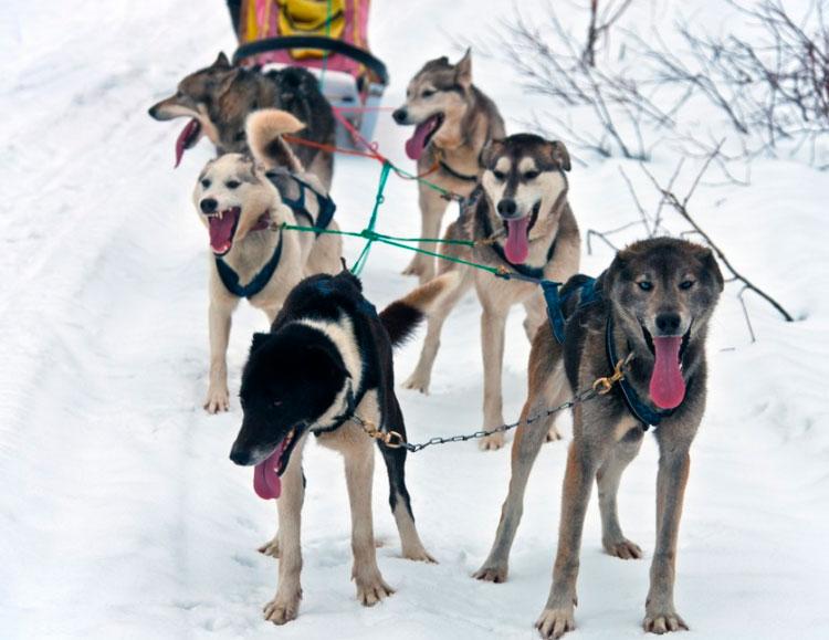 упряж камчатских собак