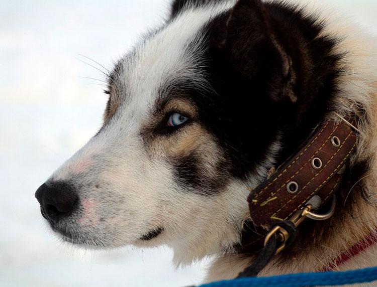 камчатская ездовая собака