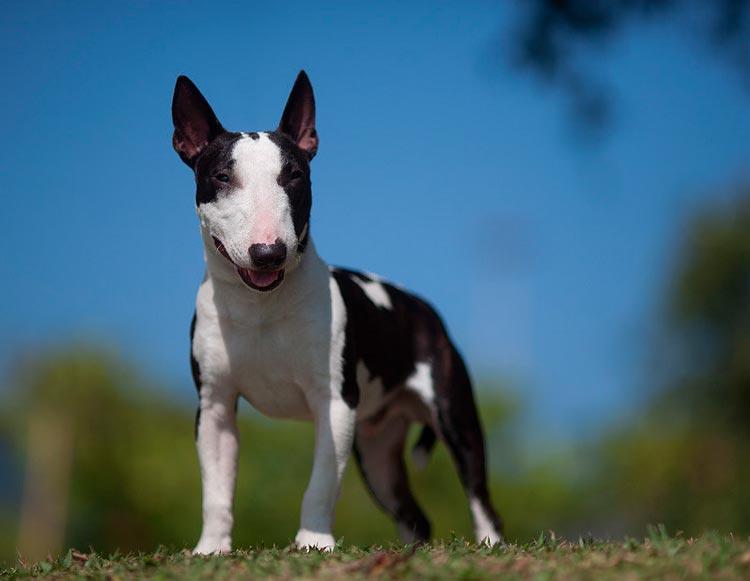 собака породы Миниатюрный бультерьер