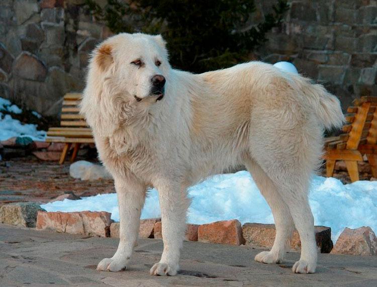 собака породы тобет