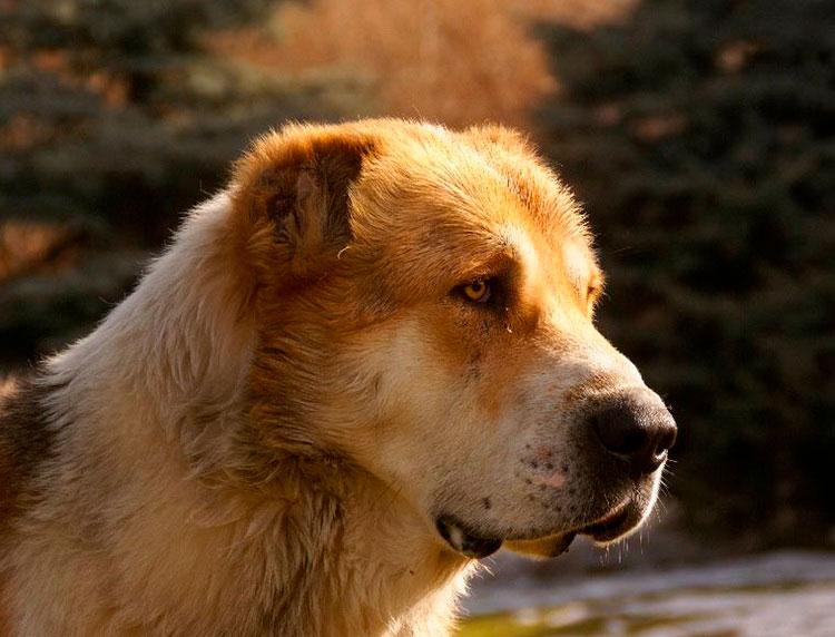 порода собак тобет