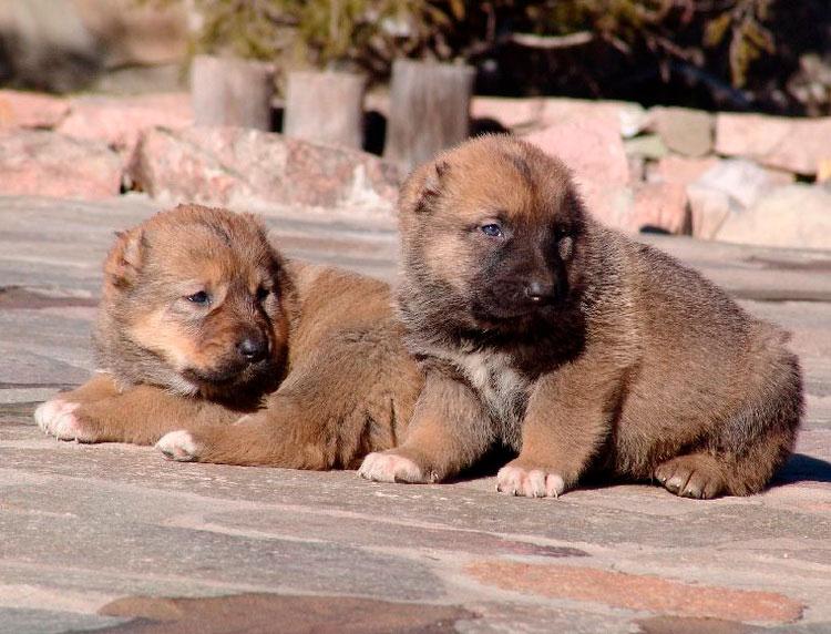 два щенка тобета