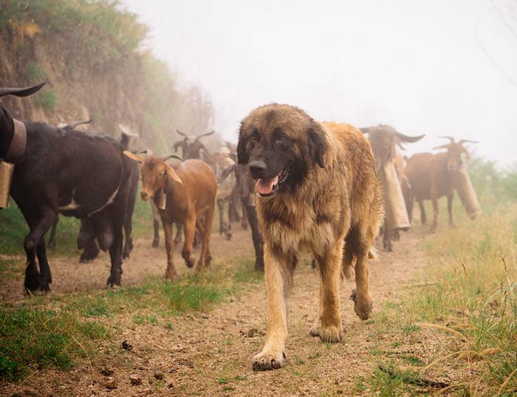 эштрельская овчарка пасет коз