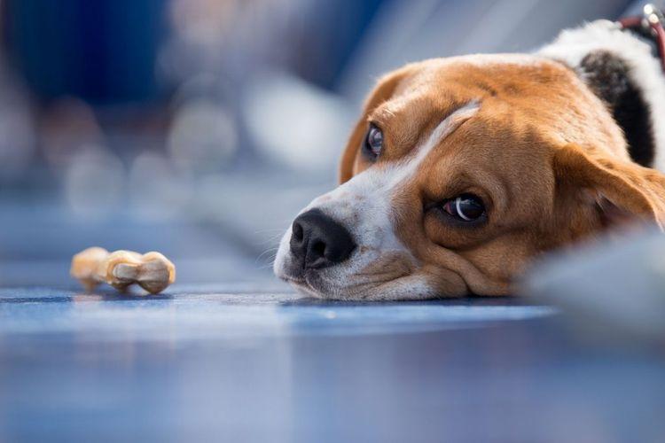 Хламидиоз у собак