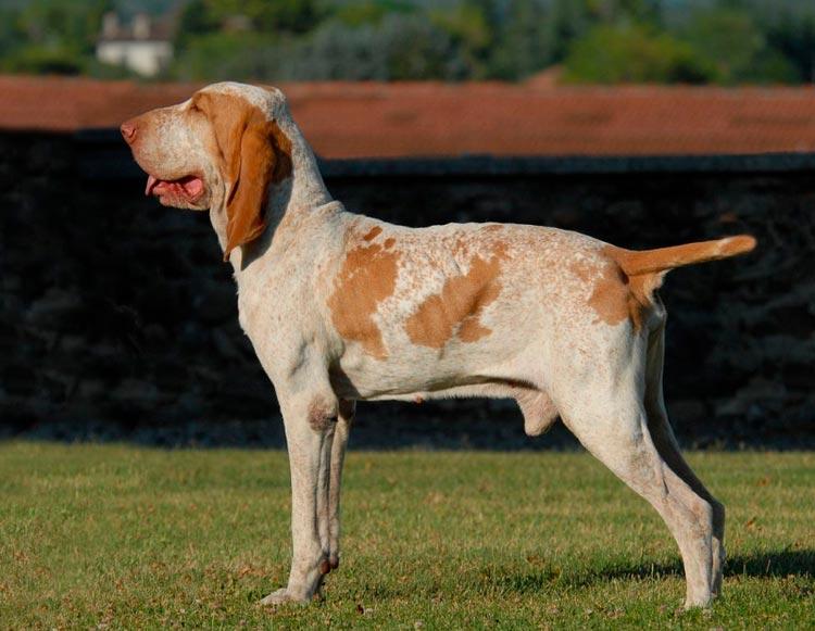 порода собак Итальянский бракк