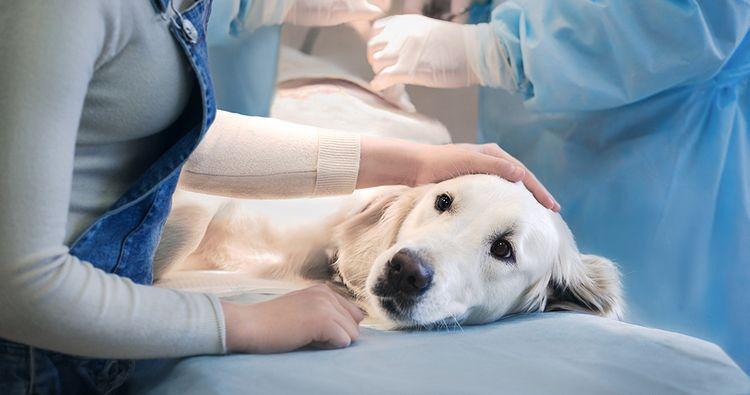 Коллапс трахеи у собаки