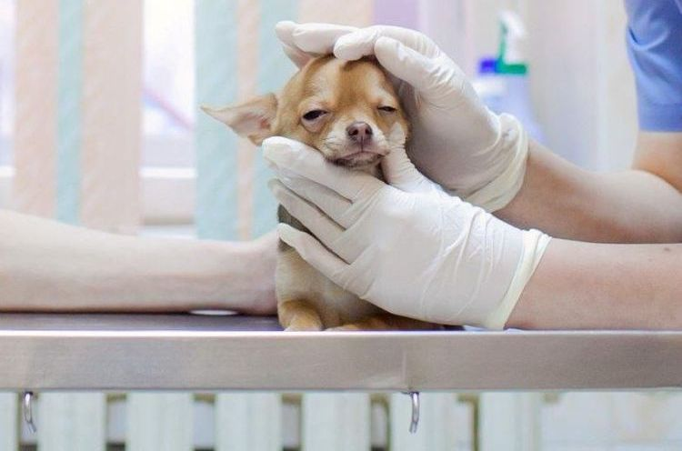Коллапс трахеи у собак