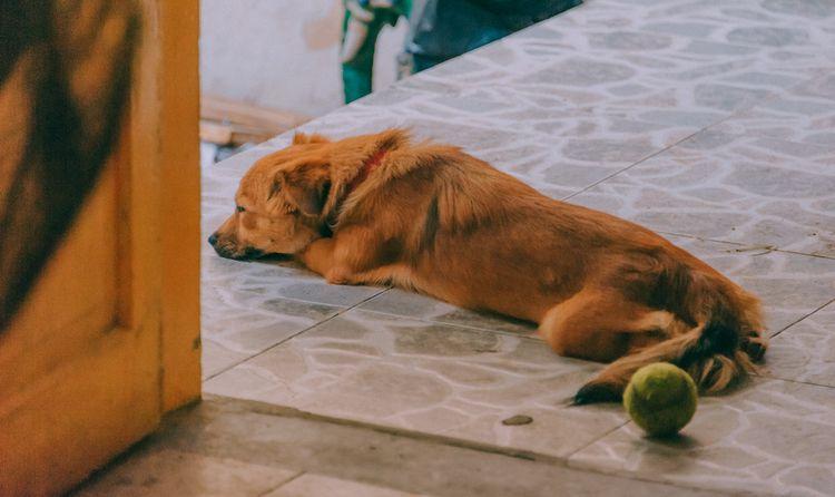 Лямблиоз у собак