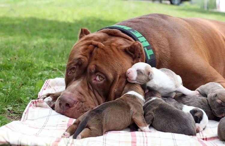 Одышка у собаки после родов