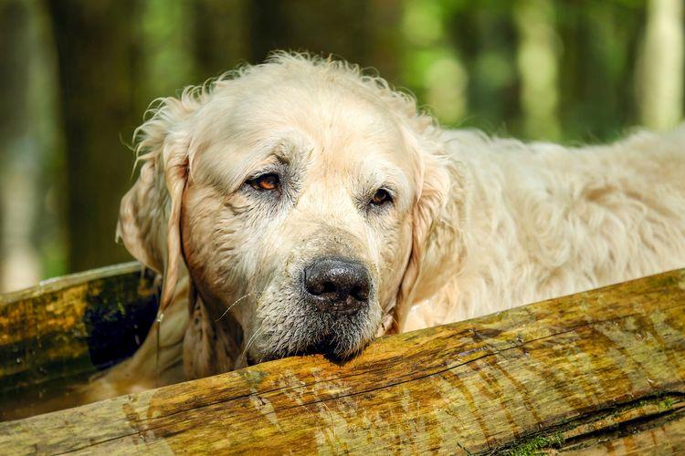 Осложнения после пироплазмоза у собак