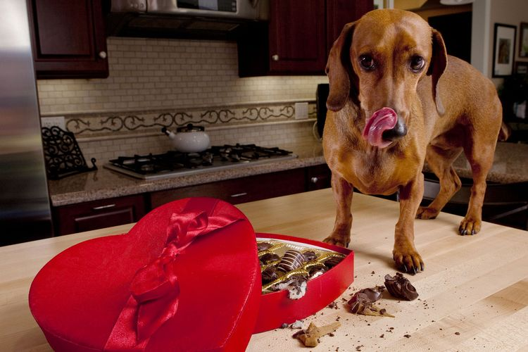 Почему собаке нельзя шоколад