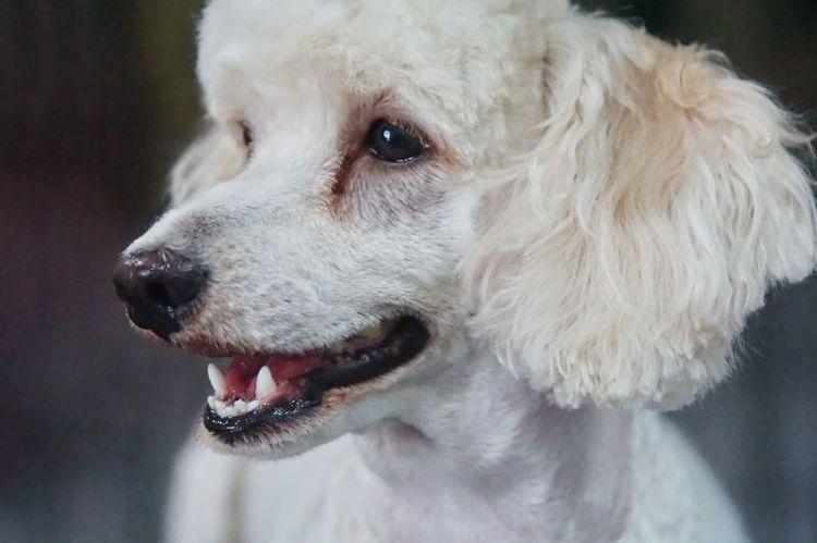 Желтые дорожки от слез у собаки