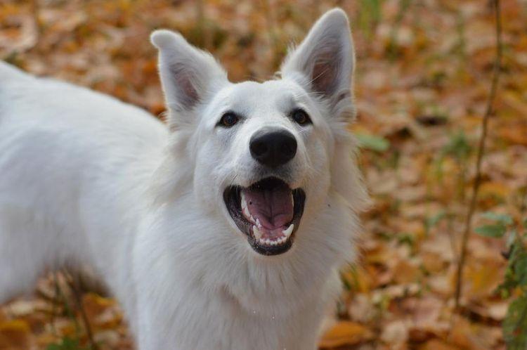 Белая собака с открытой пастью