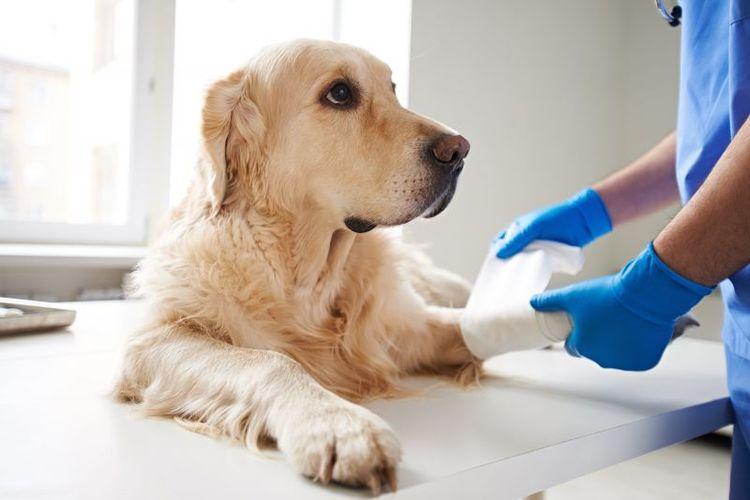 Разрыв связок на лапе у собаки