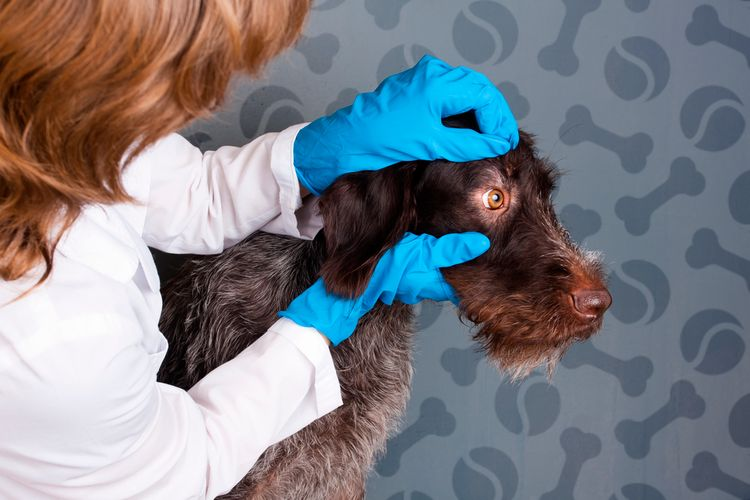 Собаку осматривает ветеринарный врач
