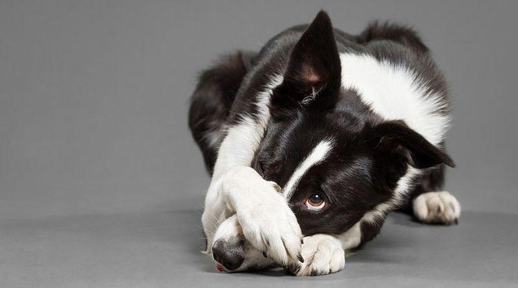 Собака прикрывает глаз лапой