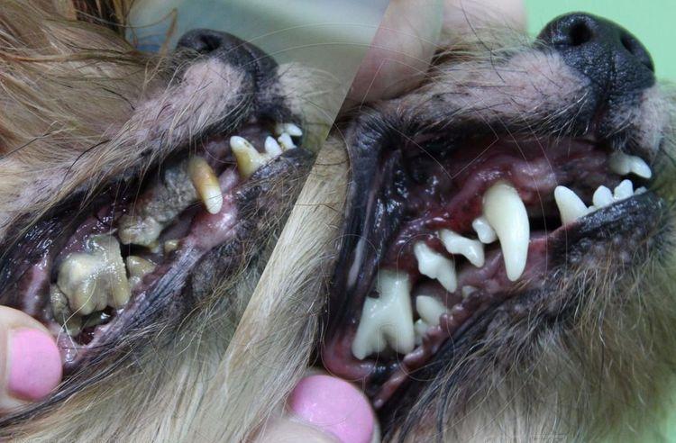 Удаление зубного камня собаке
