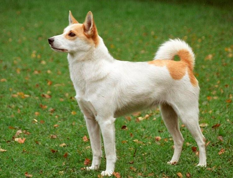 собака породы норботтен шпиц