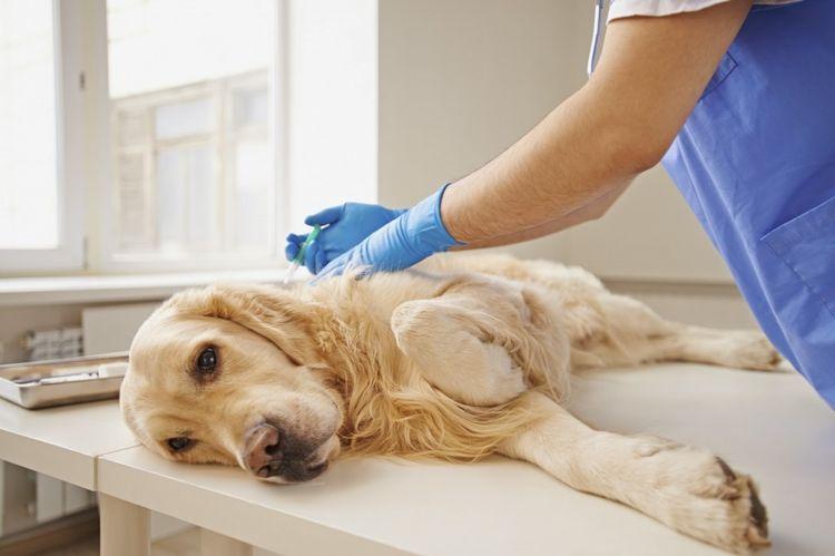 Ветеринар делает укол собаке