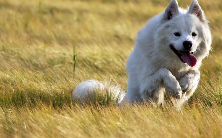 Собака дышит с высунутым языком