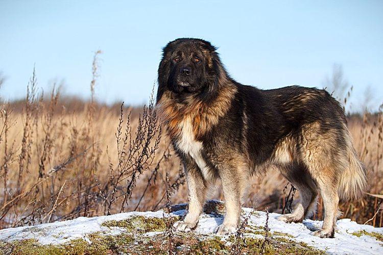 Северокавказские собаки