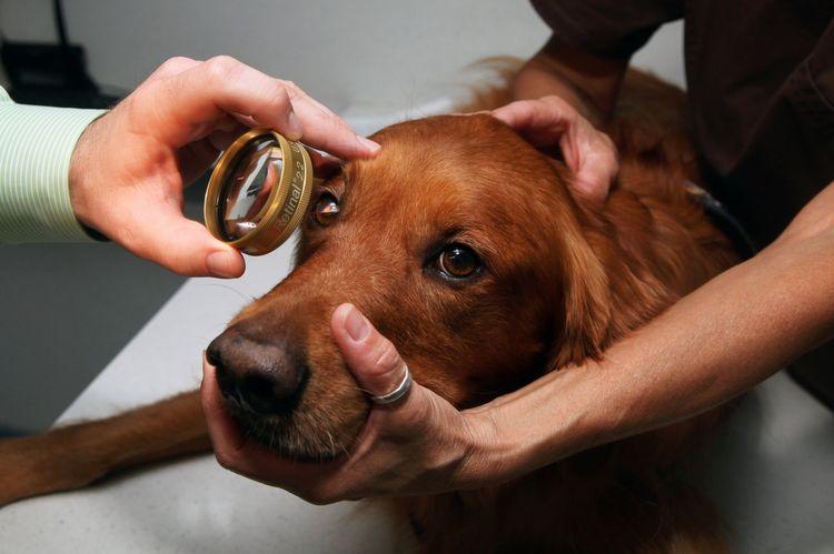 Офтальмолог осматривает собаку