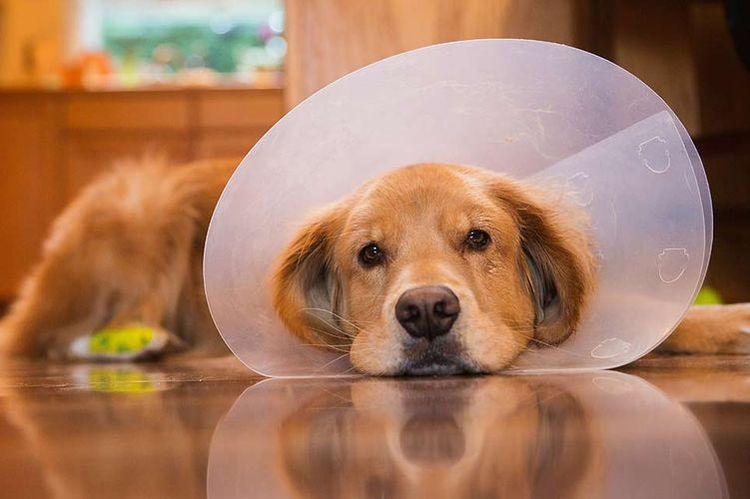 Елизаветинский воротник на собаке