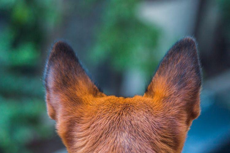 У собаки кровоточат кончики ушей
