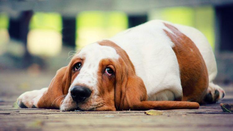 Упадок сил у собаки