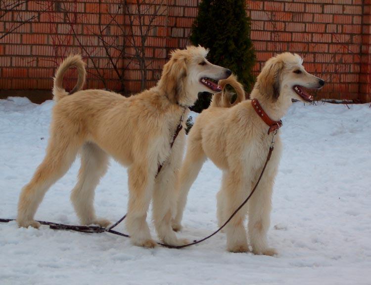 две собаки породы бакхмуль