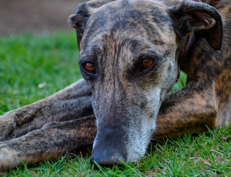 собака породы Испанская борзая
