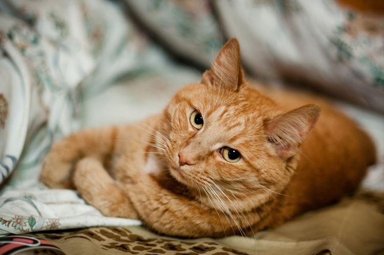 Рыжий кот обижен