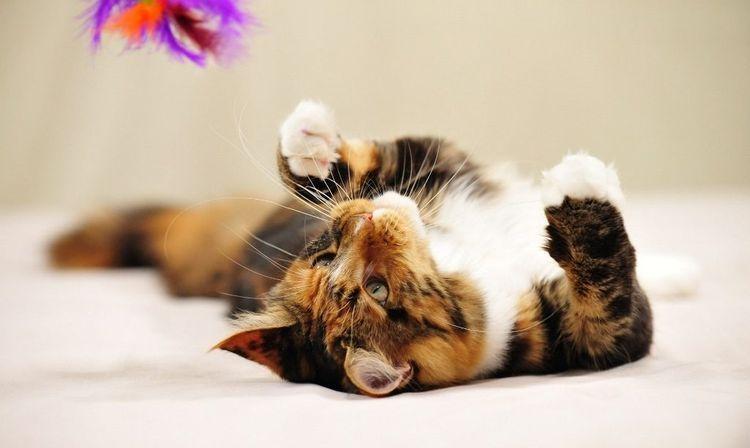 Трехцветный кот играет
