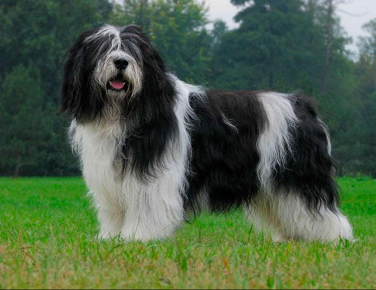 стандарт польской низинной овчарки