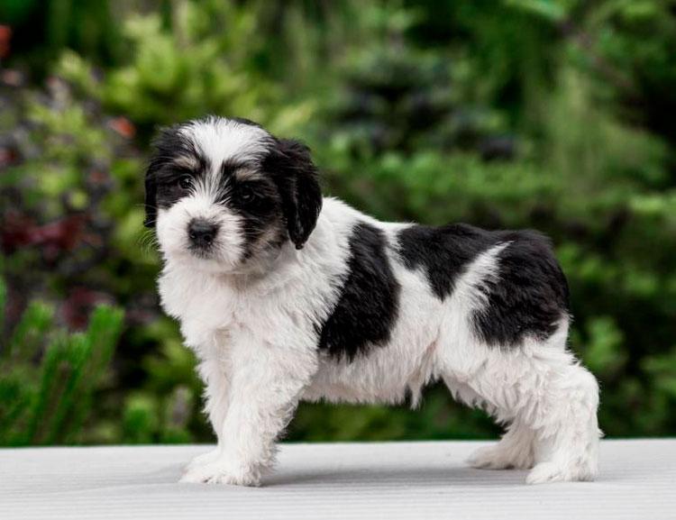 Польская низинная овчарка щенок