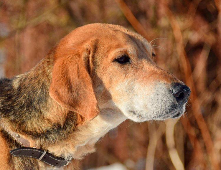 собака породы русская гончая