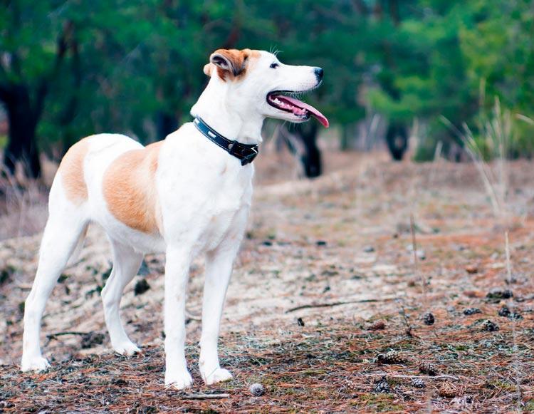 порода собак Истрийская гончая