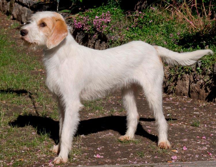 собака породы Истрийская гончая