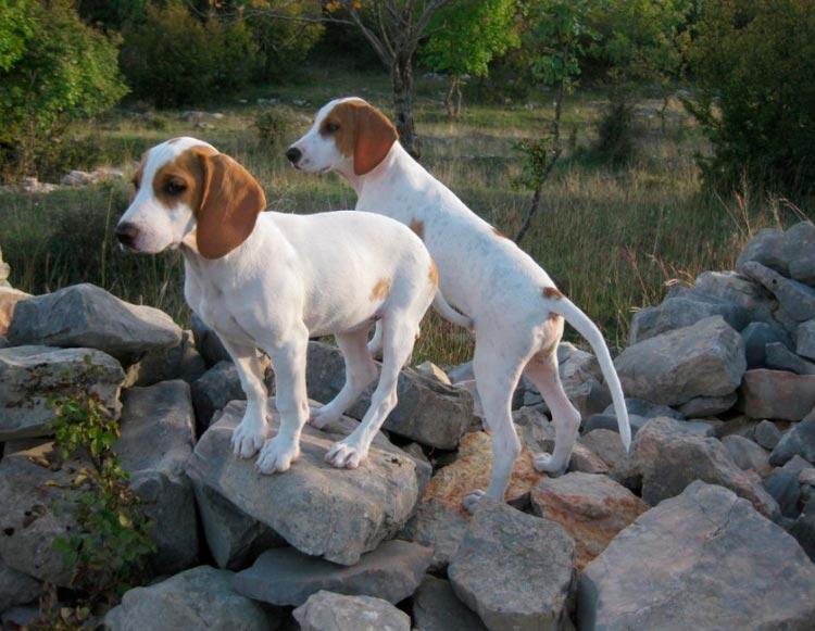 щенки истрийской гончей