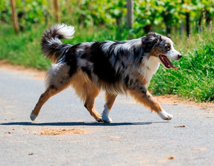 собака Миниатюрная американская овчарка