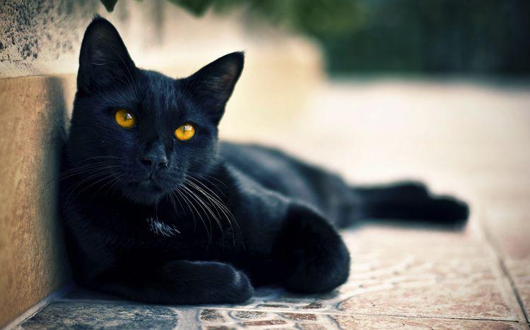 Черная кошка в квартире