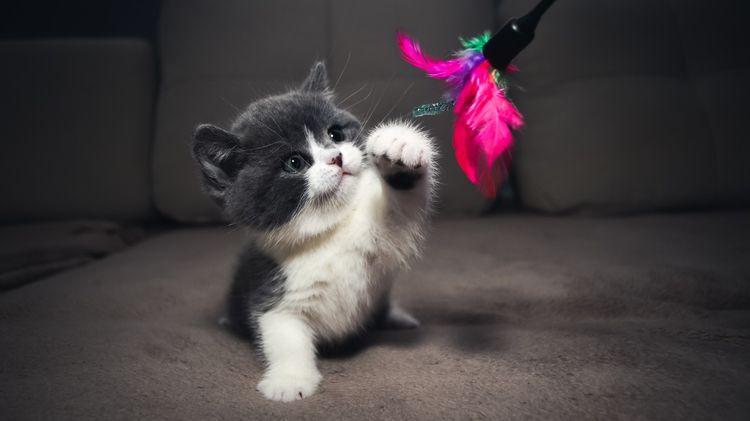 Серо-белый котенок играет