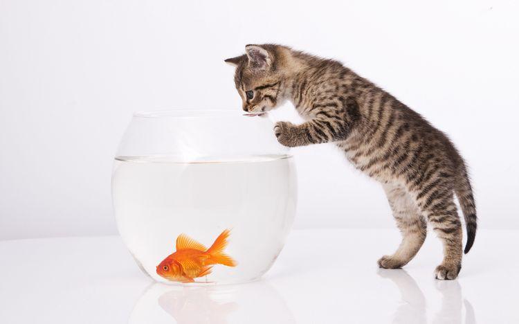 Котенок и золотая рыбка