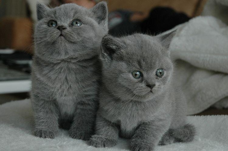 Серые шотландские котята