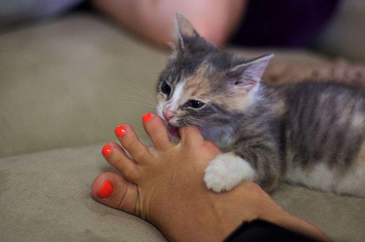 Котенок кусает хозяйку за ногу